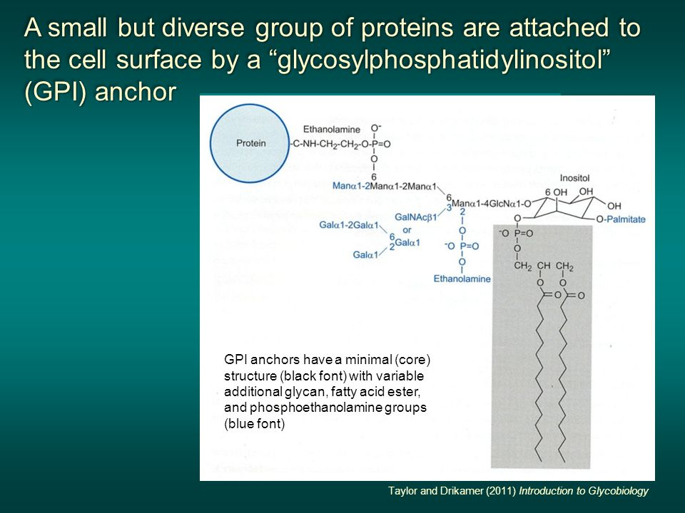 A small but diverse group of proteins are attached to the cell surface by a glycosylphosphatidylinositol (GPI) anchor A small but diverse group of proteins are attached to the cell surface by a glycosylphosphatidylinositol (GPI) anchor A small but diverse group of proteins are attached to the cell surface by a glycosylphosphatidylinositol (GPI) anchor A small but diverse group of proteins are attached to the cell surface by a glycosylphosphatidylinositol (GPI) anchor Thy-1 cell-cell interaction protein membrane Second Edition Essentials of Glycobiology Taylor and Drikamer (2011) Introduction to Glycobiology GPI anchors have a minimal (core) structure (black font) with variable additional glycan, fatty acid ester, and phosphoethanolamine groups (blue font)