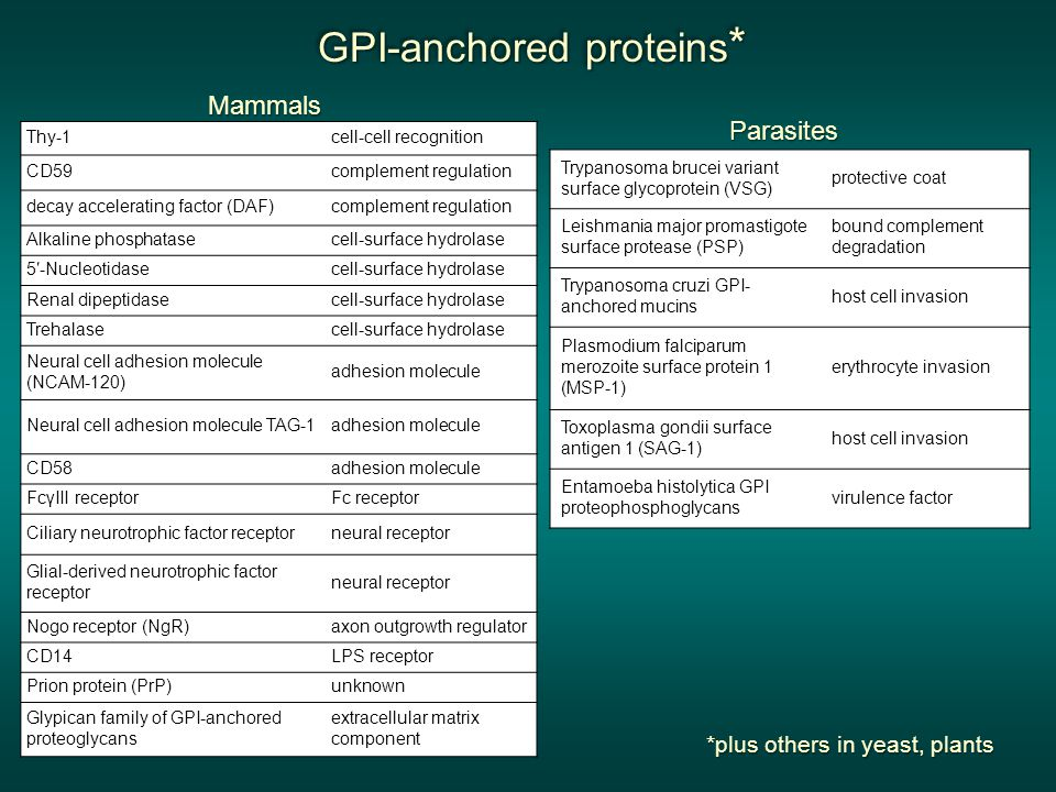 GPI-anchored proteins * GPI-anchored proteins * GPI-anchored proteins * GPI-anchored proteins *Mammals Thy-1cell-cell recognition CD59complement regulation decay accelerating factor (DAF)complement regulation Alkaline phosphatasecell-surface hydrolase 5′-Nucleotidasecell-surface hydrolase Renal dipeptidasecell-surface hydrolase Trehalasecell-surface hydrolase Neural cell adhesion molecule (NCAM-120) adhesion molecule Neural cell adhesion molecule TAG-1adhesion molecule CD58adhesion molecule FcγIII receptorFc receptor Ciliary neurotrophic factor receptorneural receptor Glial-derived neurotrophic factor receptor neural receptor Nogo receptor (NgR)axon outgrowth regulator CD14LPS receptor Prion protein (PrP)unknown Glypican family of GPI-anchored proteoglycans extracellular matrix component Trypanosoma brucei variant surface glycoprotein (VSG) protective coat Leishmania major promastigote surface protease (PSP) bound complement degradation Trypanosoma cruzi GPI- anchored mucins host cell invasion Plasmodium falciparum merozoite surface protein 1 (MSP-1) erythrocyte invasion Toxoplasma gondii surface antigen 1 (SAG-1) host cell invasion Entamoeba histolytica GPI proteophosphoglycans virulence factor Parasites *plus others in yeast, plants