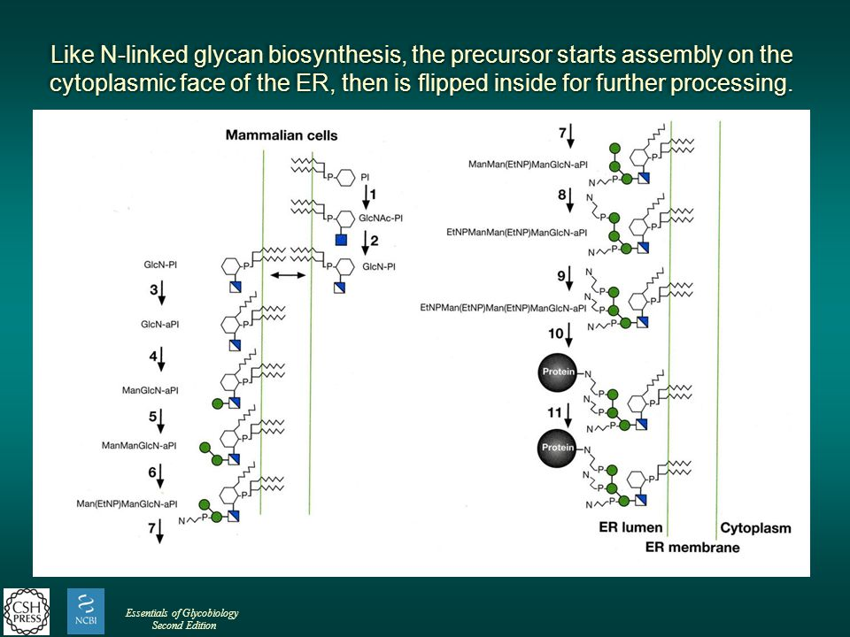 Like N-linked glycan biosynthesis, the precursor starts assembly on the cytoplasmic face of the ER, then is flipped inside for further processing.