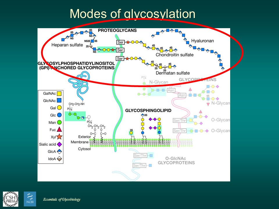 Modes of glycosylation Essentials of Glycobiology