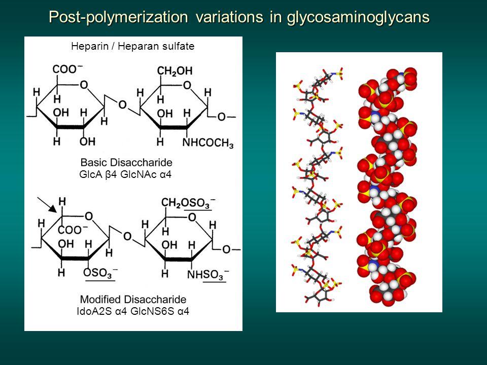 Post-polymerization variations in glycosaminoglycans GlcA β4 GlcNAc α4 Heparin / Heparan sulfate IdoA2S α4 GlcNS6S α4
