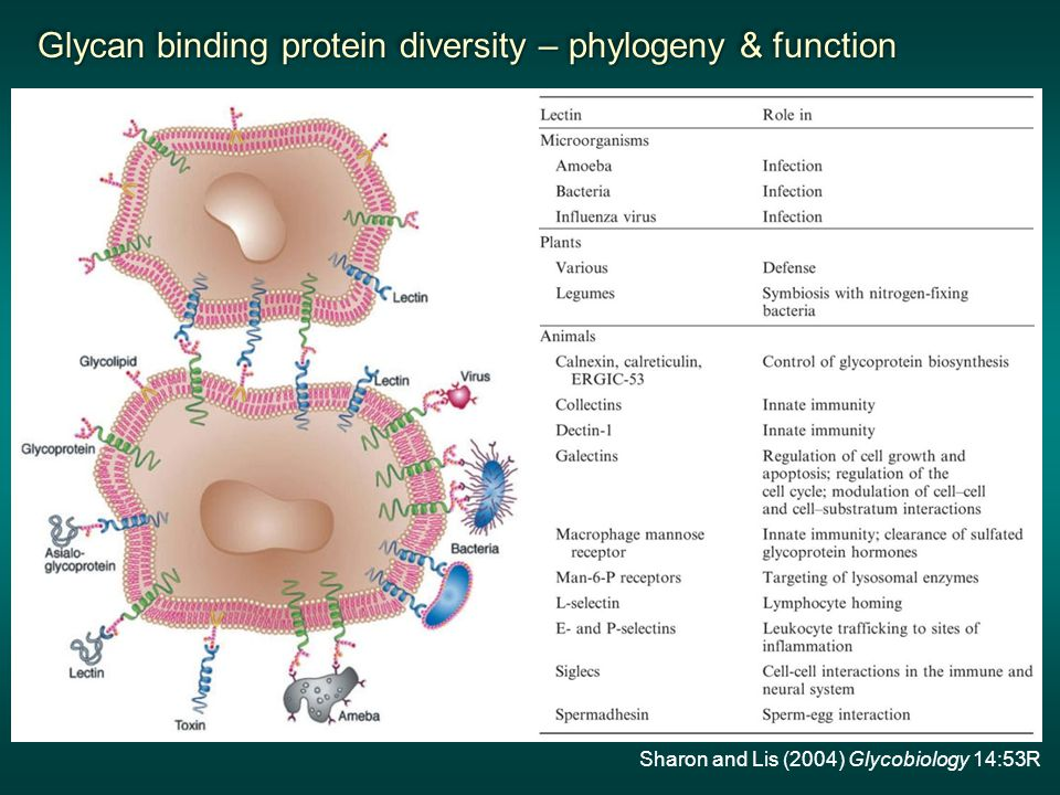 Sharon and Lis (2004) Glycobiology 14:53R Glycan binding protein diversity – phylogeny & function Glycan binding protein diversity – phylogeny & function Glycan binding protein diversity – phylogeny & function Glycan binding protein diversity – phylogeny & function