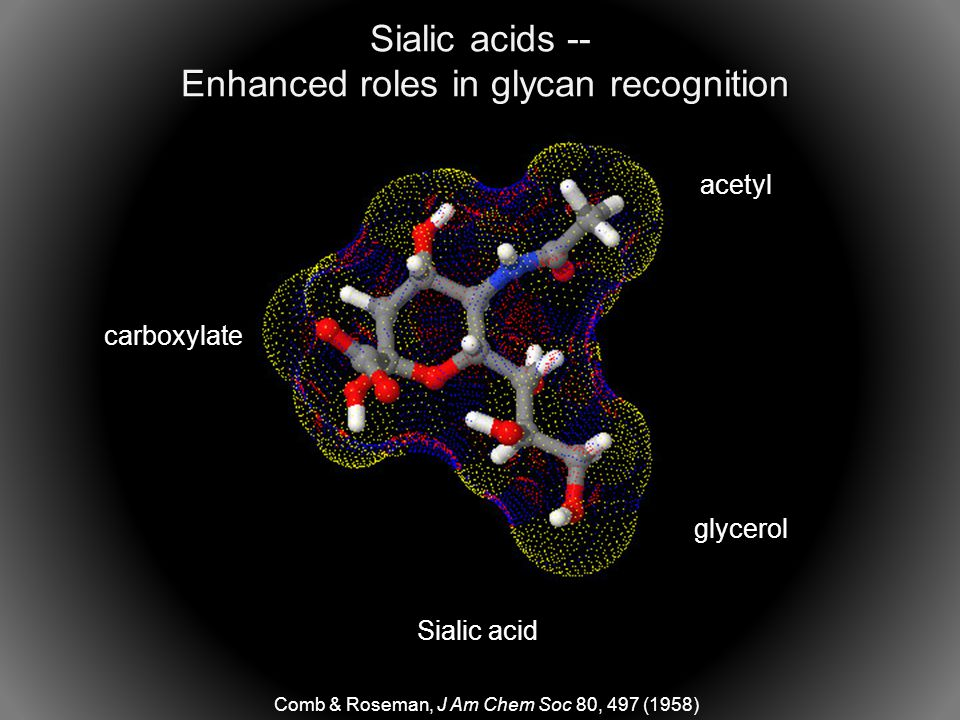 Sialic acid glycerol carboxylate acetyl Comb & Roseman, J Am Chem Soc 80, 497 (1958) Sialic acids -- Enhanced roles in glycan recognition