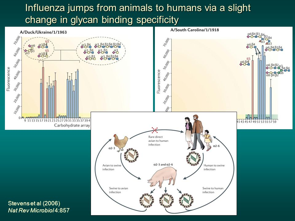 Influenza jumps from animals to humans via a slight change in glycan binding specificity Stevens et al (2006) Nat Rev Microbiol 4:857