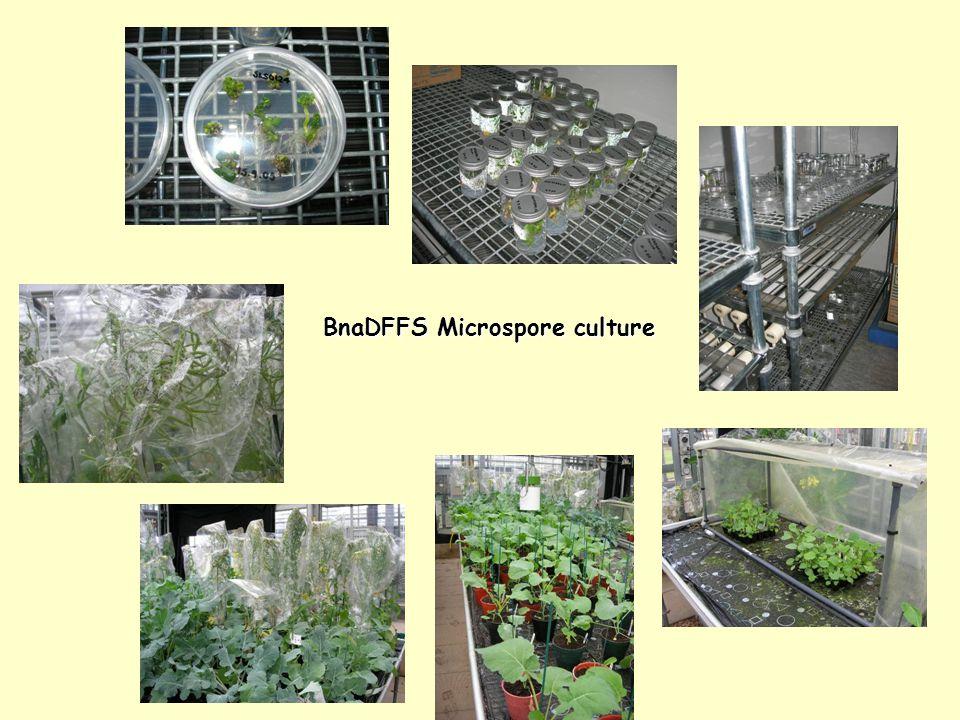 BnaDFFS Microspore culture