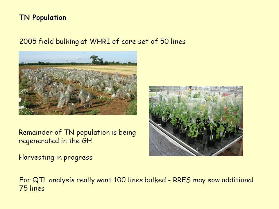TN Population 2005 field bulking at WHRI of core set of 50 lines For QTL analysis really want 100 lines bulked - RRES may sow additional 75 lines Rema