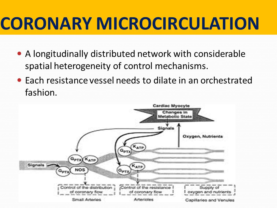CORONARY MICROCIRCULATION A longitudinally distributed network with considerable spatial heterogeneity of control mechanisms.