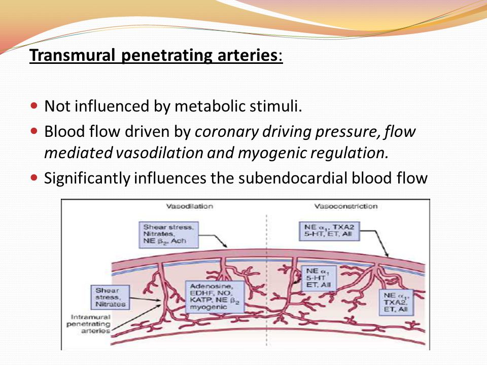 Transmural penetrating arteries: Not influenced by metabolic stimuli. Blood flow driven by coronary driving pressure, flow mediated vasodilation and m