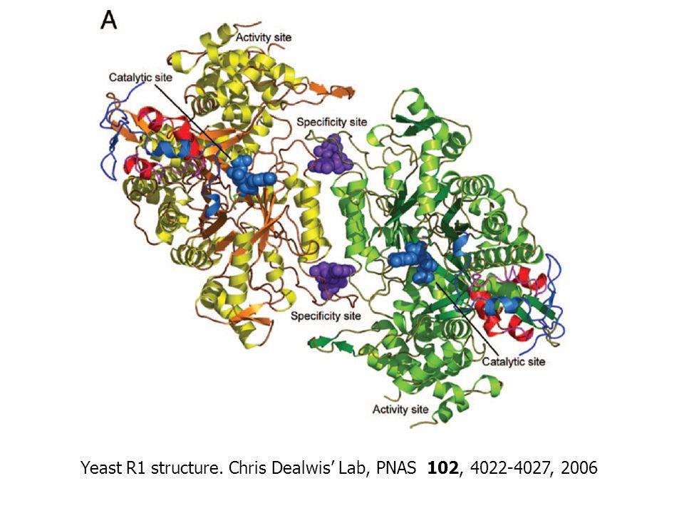 Yeast R1 structure. Chris Dealwis' Lab, PNAS 102, 4022-4027, 2006