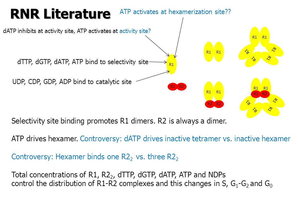 R1 R2 R1 R2 UDP, CDP, GDP, ADP bind to catalytic site dTTP, dGTP, dATP, ATP bind to selectivity site dATP inhibits at activity site, ATP activates at