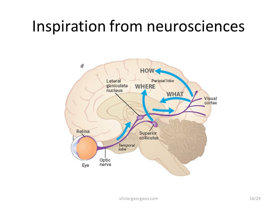 Inspiration from neurosciences oliviergeorgeon.com16/29