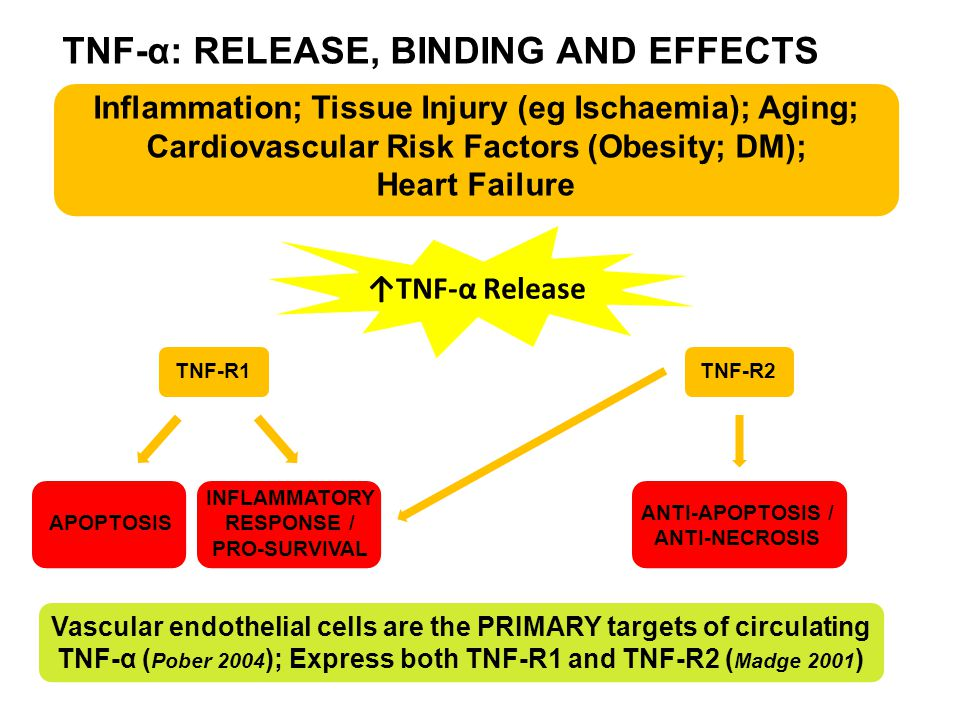 TNF-α: RELEASE, BINDING AND EFFECTS TNF-R1TNF-R2 APOPTOSIS INFLAMMATORY RESPONSE / PRO-SURVIVAL Inflammation; Tissue Injury (eg Ischaemia); Aging; Cardiovascular Risk Factors (Obesity; DM); Heart Failure ↑TNF-α Release ANTI-APOPTOSIS / ANTI-NECROSIS Vascular endothelial cells are the PRIMARY targets of circulating TNF-α ( Pober 2004 ); Express both TNF-R1 and TNF-R2 ( Madge 2001 )