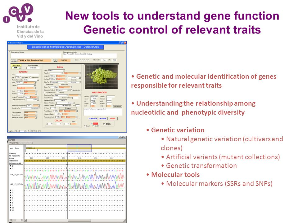 New tools to understand gene function Genetic control of relevant traits Genetic and molecular identification of genes responsible for relevant traits Understanding the relationship among nucleotidic and phenotypic diversity Genetic variation Natural genetic variation (cultivars and clones) Artificial variants (mutant collections) Genetic transformation Molecular tools Molecular markers (SSRs and SNPs)