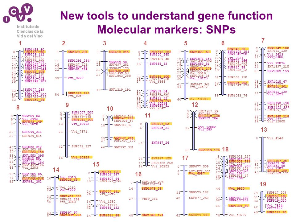 New tools to understand gene function Molecular markers: SNPs SNP289_84 0 Vvi_6936 6 SNP593_149 7 Vvi_1810 8 SNP699_311 20 SNP929_81i 25 SNP853_312 40 SNP1203_88 42 SNP1323_155 45 SNP1553_395 53 SNP865_80 54 SNP377_251 SNP1481_156 55 SNP1499_126 63 Vvi_2283 65 SNP1385_86 75 SNP1055_141 SNP1295_225 78 SNP881_202 82 8 SNP1057_505 0 SNP663_578 3 SNP311_198 SNP1211_166 5 Vvi_10992 13 Vvi_7871 23 SNP571_227 42 Vvi_10329 56 9 SNP649_567 8 SNP947_288 SNP1029_57 9 SNP283_32 18 SNP447_244 35 SNP1437_100 37 SNP397_331 46 10 SNP197_82 0 SNP635_21 5 SNP987_26 24 SNP317_155 44 SNP1423_265 50 Vvi_10353 54 11 SNP1347_100 2 SNP691_139 3 Vvi_2623 10 Vvi_3400 11 Vvi_13076 20 SNP1397_215 24 SNP1583_159 30 SNP1015_67 45 Vvi_1731 46 SNP241_201 48 SNP961_139 Vvi_5629 58 SNP1495_148 71 SNP1419_186 74 SNP1151_397 77 SNP429_101 79 SNP1445_218 88 Vvi_377 91 Vvi_12805 94 7 SNP1201_99 3 SNP189_131 4 SNP1215_138 5 SNP557_104 7 Vvi_12882 Vvi_589 22 SNP1119_176 50 12 Vvi_4146 0 SNP1187_35 30 SNP653_90 SNP351_85 32 Vvi_7387 37 SNP259_199 SNP1363_171 43 13 Vvi_2319 SNP325_65 10 Vvi_2292 23 Vvi_1222 24 SNP1411_565 33 SNP421_234 37 Vvi_3163 40 SNP897_57 54 SNP1035_226 57 14 SNP341_196 SNP451_287 0 SNP1507_64 7 SNP1371_290 10 SNP227_191 24 Vvi_3212 26 Vvi_1280 36 Vvi_11273 42 SNP555_132 43 SNP1311_48 54 15 SNP1335_204 SNP1231_54 7 SNP1079_58 14 VBFT_361 27 SNP1349_174 48 16 SNP677_509 0 LFY-ET2_351 6 Vvi_6987 9 SNP579_187 33 SNP877_268 40 SNP879_308 62 17 SNP1023_227 5 SNP1045_291 11 SNP1003_336 Vvi_221 15 SNP1001_250 17 SNP355_154 26 SNP453_375 Vvi_1617 27 SNP1519_47 28 Vvi_196 29 Vvi_9920 44 SNP883_160 57 SNP415_209 58 SNP1391_48 66 Vvi_10777 78 18 SNP817_209 24 SNP459_140 SNP253_145 31 SNP819_210 33 Vvi_7824 Vvi_1187 42 SNP1127_70 49 19 SNP613_315 0 SNP553_98 13 SNP497_281 16 SNP867_170 SNP425_205 25 SNP1493_58 SNP1563_280 26 SNP1219_191 48 3 SNP1439_90 SNP1453_40 SNP229_112 3 Vvi_1196 11 SNP683_120 SNP129_237 17 SNP1427_120 24 SNP1517_271 SNP1527_144 25 SNP269_308 27 SNP851_110 29 SNP357_371 31 SNP517_224 32 SNP1241_207 39 SNP477_239 Vvi_6934 53 SNP1025_100 56 SNP1021_163 61 SNP1157_64 63 1 SNP829_281 0 SNP1293_294 11 SNP437_129 16 SNP1487_41 19 SNP581_114 22 Vvi_9227 33 SNP1229_219 Vvi_805 54 2 SNP1513_153 0 SNP255_265 3 SNP1409_48 9 SNP655_93 15 SNP191_100 32 SNP715_260 35 Vvi_6668 37 SNP281_64 51 SNP891_109 54 SNP135_316 57 SNP811_42 59 SNP1559_291 64 Vvi_10516 67 SNP1399_81 69 Vvi_2543 70 4 SNP1027_69 0 SNP1071_151 12 SNP1431_584 13 SNP1053_81 14 SNP625_278 19 SNP1471_179 24 SNP855_103 Vvi_5316 25 SNP1235_35 28 Vvi_10113 30 SNP567_341 41 Vvi_11572 44 Vvi_10383 60 5 SNP945_88 SNP1109_253 0 SNP1345_60 1 Vvi_2021 11 SNP873_244 SNP709_258 13 SNP1213_99 14 SNP915_88 17 SNP1393_62 19 SNP559_110 32 SNP895_382 40 SNP1043_378 41 SNP1033_76 55 6