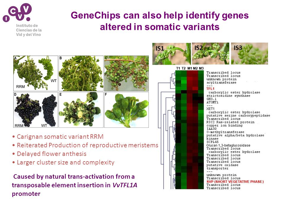 GeneChips can also help identify genes altered in somatic variants IS1 IS2IS3 Carignan somatic variant RRM Reiterated Production of reproductive meristems Delayed flower anthesis Larger cluster size and complexity Caused by natural trans-activation from a transposable element insertion in VvTFL1A promoter