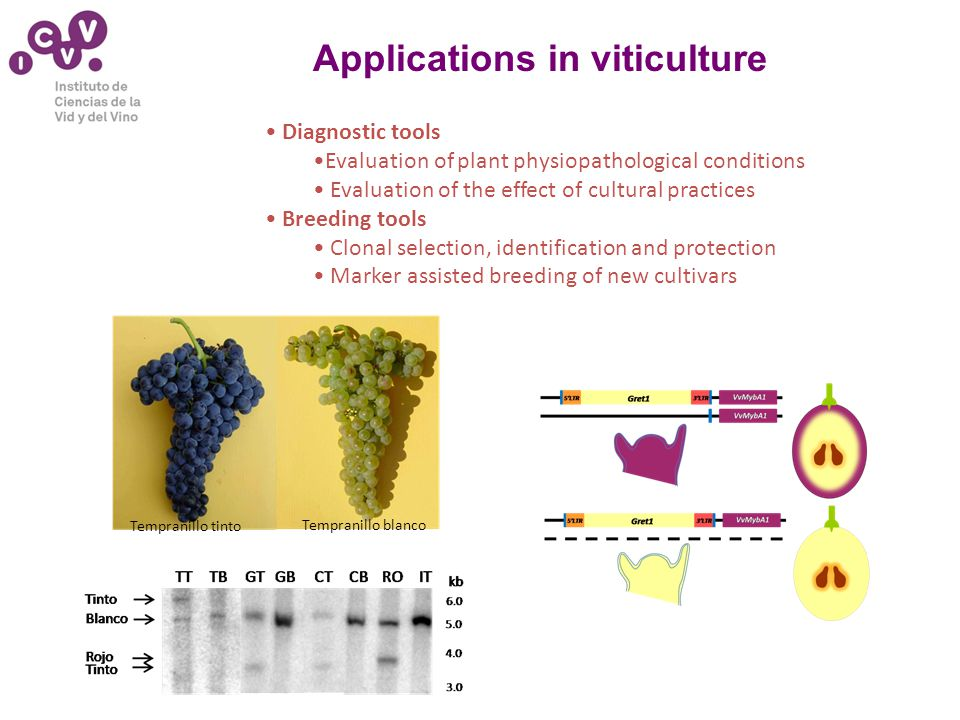 Applications in viticulture Diagnostic tools Evaluation of plant physiopathological conditions Evaluation of the effect of cultural practices Breeding tools Clonal selection, identification and protection Marker assisted breeding of new cultivars Tempranillo tinto Tempranillo blanco