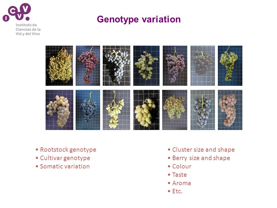 Genotype variation Cluster size and shape Berry size and shape Colour Taste Aroma Etc.