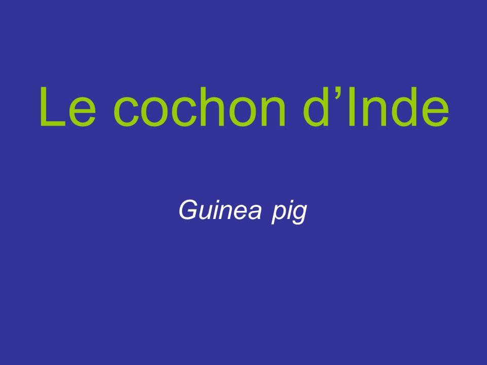 Le cochon d'Inde Guinea pig