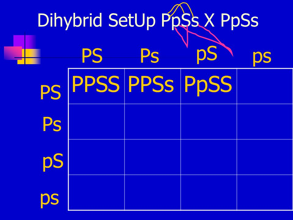 Dihybrid SetUp PpSs X PpSs PPSSPPSsPpSS PSPs pS ps PS Ps pS ps