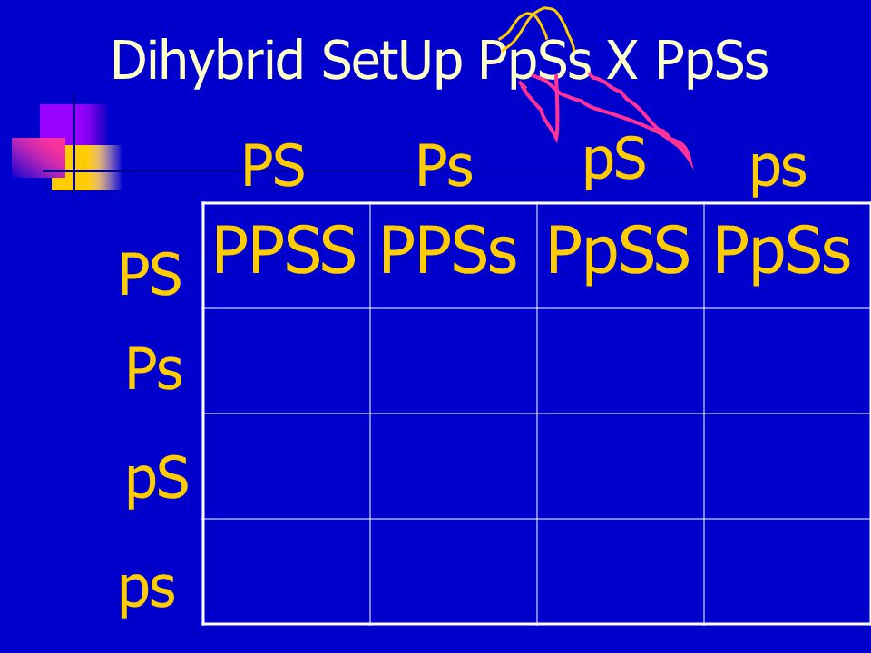 Dihybrid SetUp PpSs X PpSs PPSSPPSsPpSSPpSs PSPs pS ps PS Ps pS ps