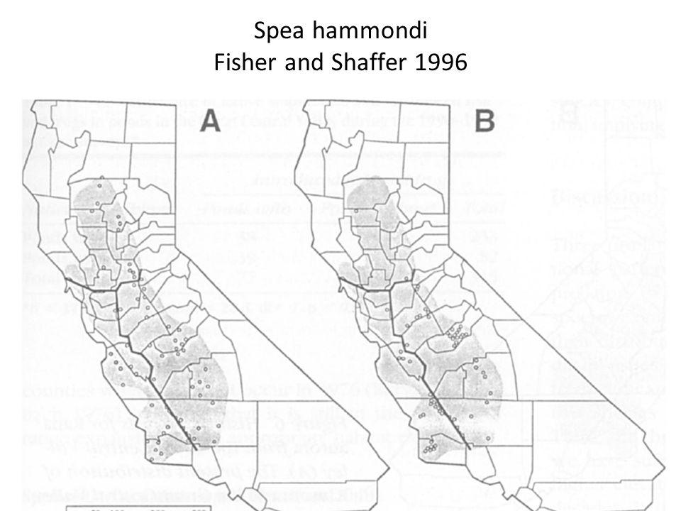 Spea hammondi Fisher and Shaffer 1996