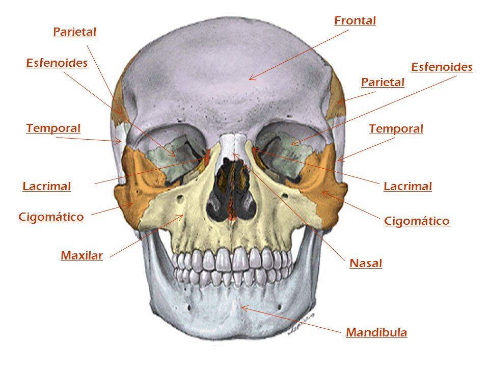 Parietal Frontal Temporal Cigomático Nasal Maxilar Mandíbula Parietal Temporal Cigomático Lacrimal Esfenoides