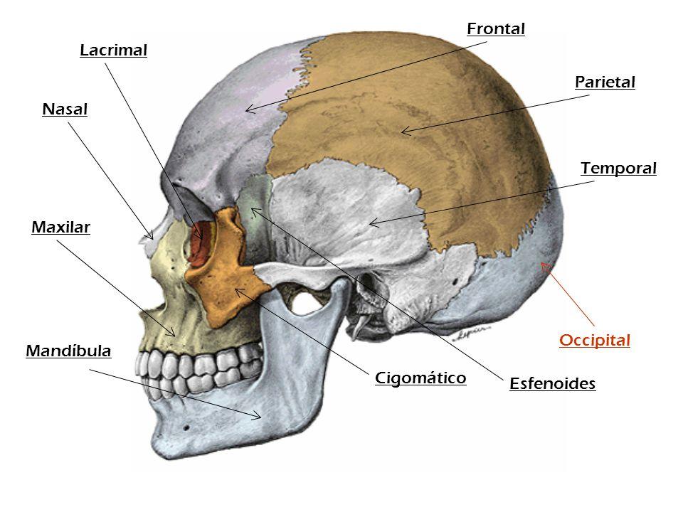 Parietal Frontal Temporal Cigomático Nasal Maxilar Mandíbula Occipital Esfenoides Lacrimal