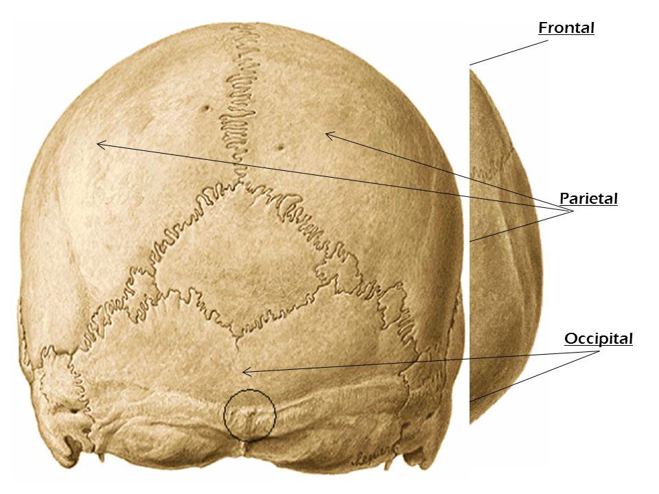 Parietal Frontal Parietal Nasal Occipital