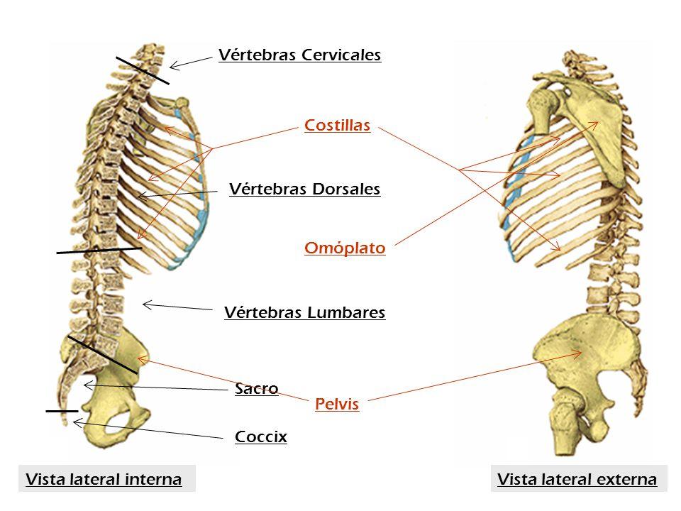 Sacro Coccix Vértebras Cervicales Vértebras Dorsales Vértebras Lumbares Costillas Omóplato Pelvis Vista lateral externaVista lateral interna