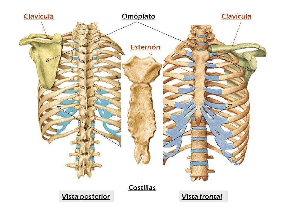Costillas OmóplatoClavícula Esternón Vista frontalVista posterior