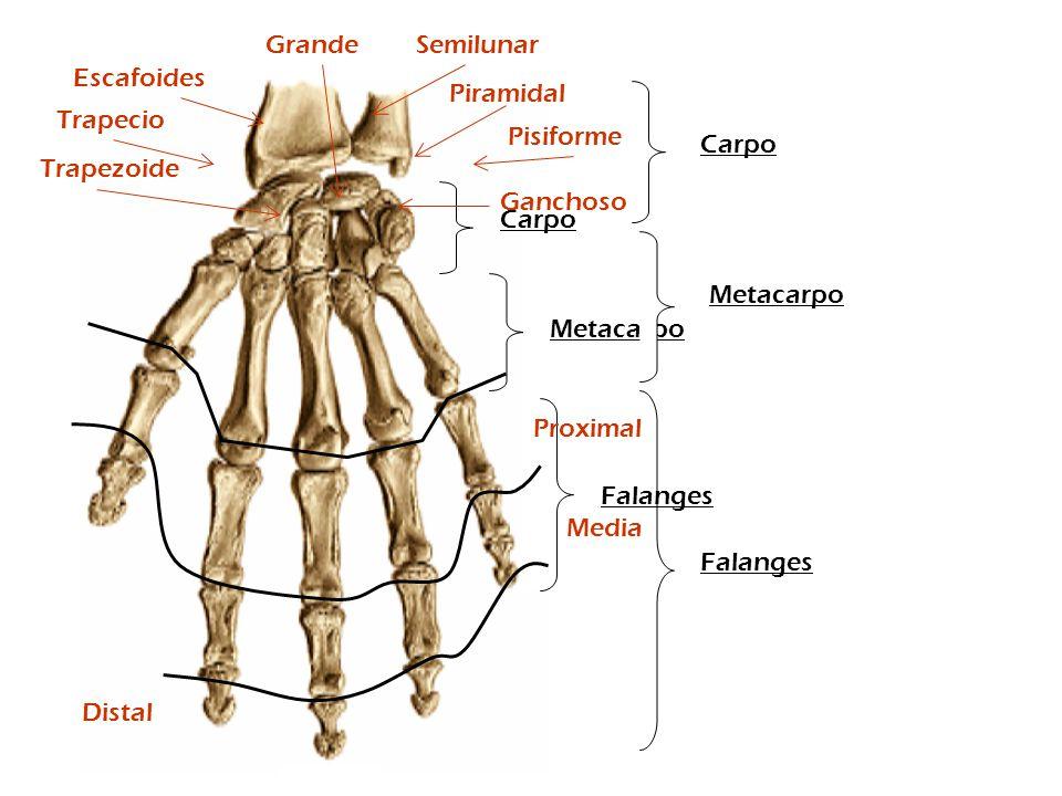 Metacarpo Carpo Falanges Metacarpo Carpo Falanges Escafoides Trapecio Trapezoide Semilunar Piramidal Pisiforme Grande Ganchoso Proximal Distal Media