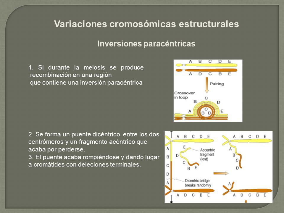 Variaciones cromosómicas estructurales Inversiones paracéntricas 1. Si durante la meiosis se produce recombinación en una región que contiene una inve