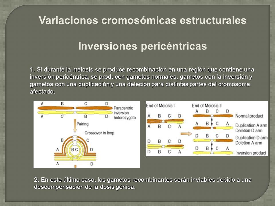 Variaciones cromosómicas estructurales Inversiones pericéntricas 1. Si durante la meiosis se produce recombinación en una región que contiene una inve