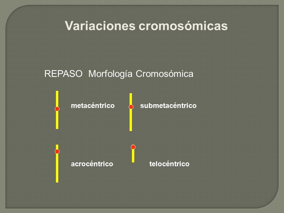 Variaciones cromosómicas REPASO Morfología Cromosómica metacéntricosubmetacéntrico acrocéntricotelocéntrico