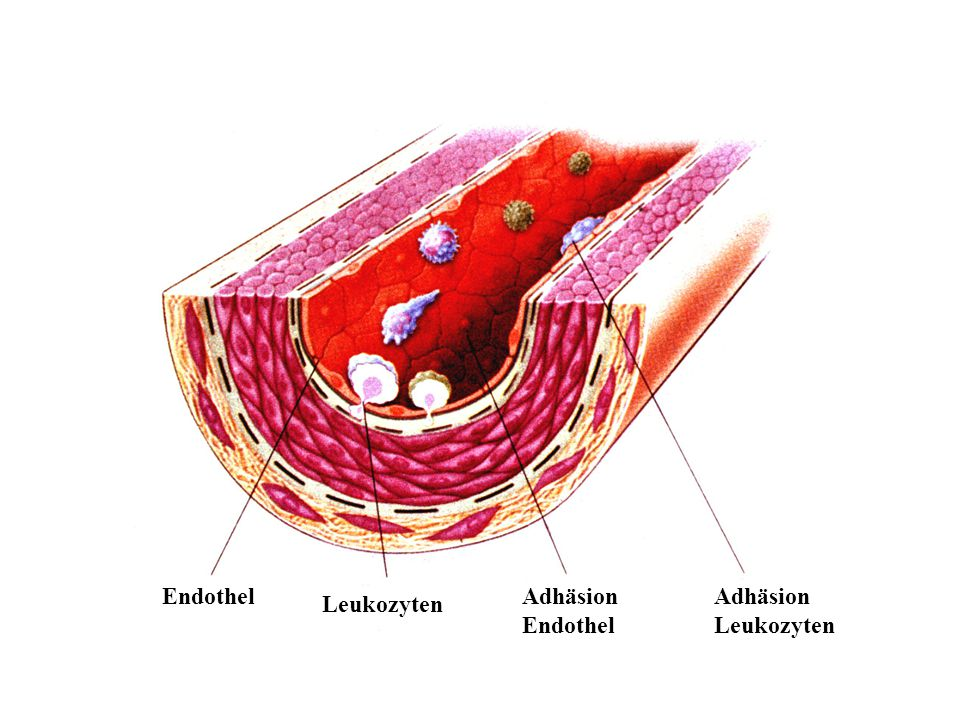 Endothel Leukozyten Adhäsion Endothel Adhäsion Leukozyten