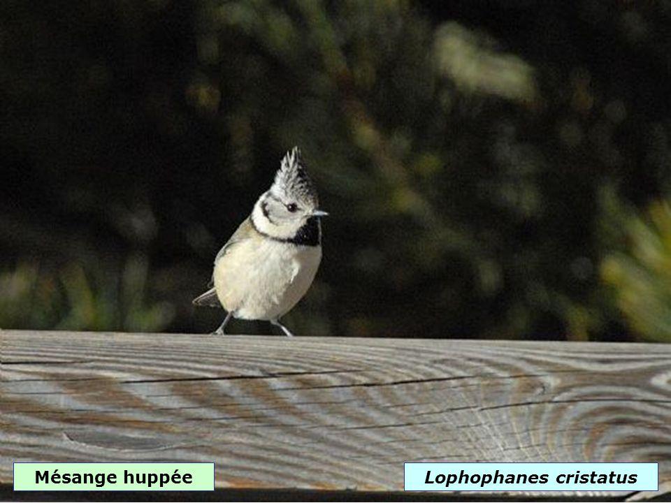 Mésange bleueCyanistes caeruleus