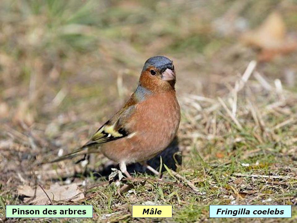 Niverolle alpineMontifringilla nivalis