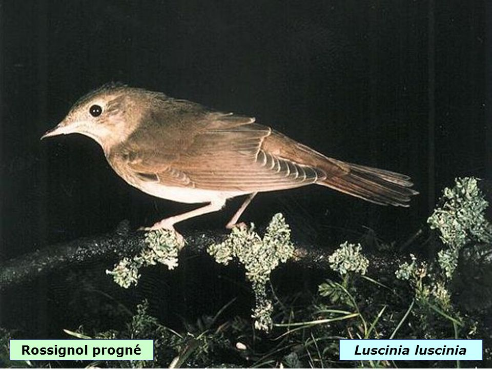 Rossignol philomèleLuscinia megarhynchos