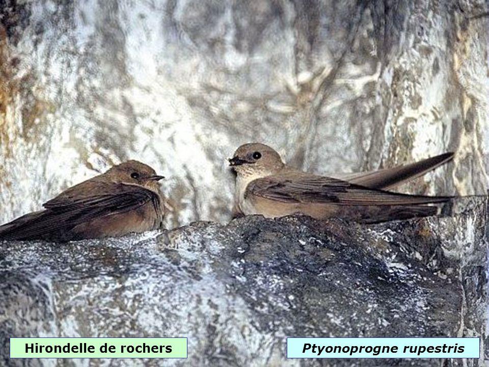 Rougequeue noirPhoenicurus ochruros