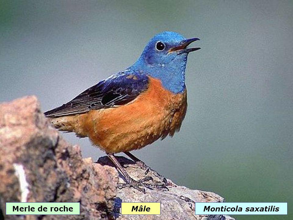 Merle bleuMonticola solitarius