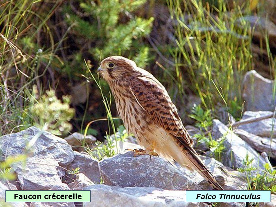 Faucon pèlerinFalco peregrinus