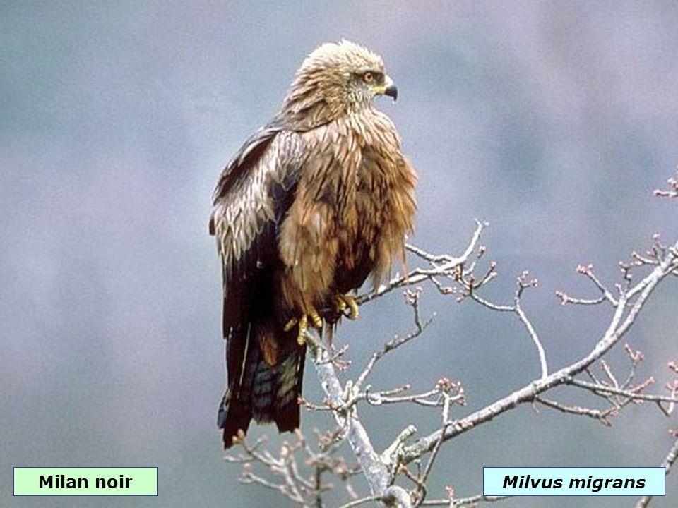 Épervier d EuropeAccipiter nisus