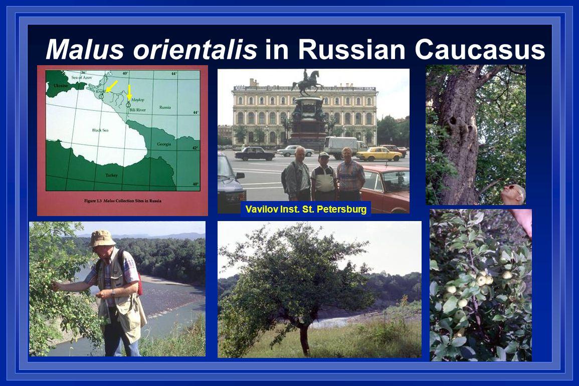 Malus orientalis in Russian Caucasus Vavilov Inst. St. Petersburg