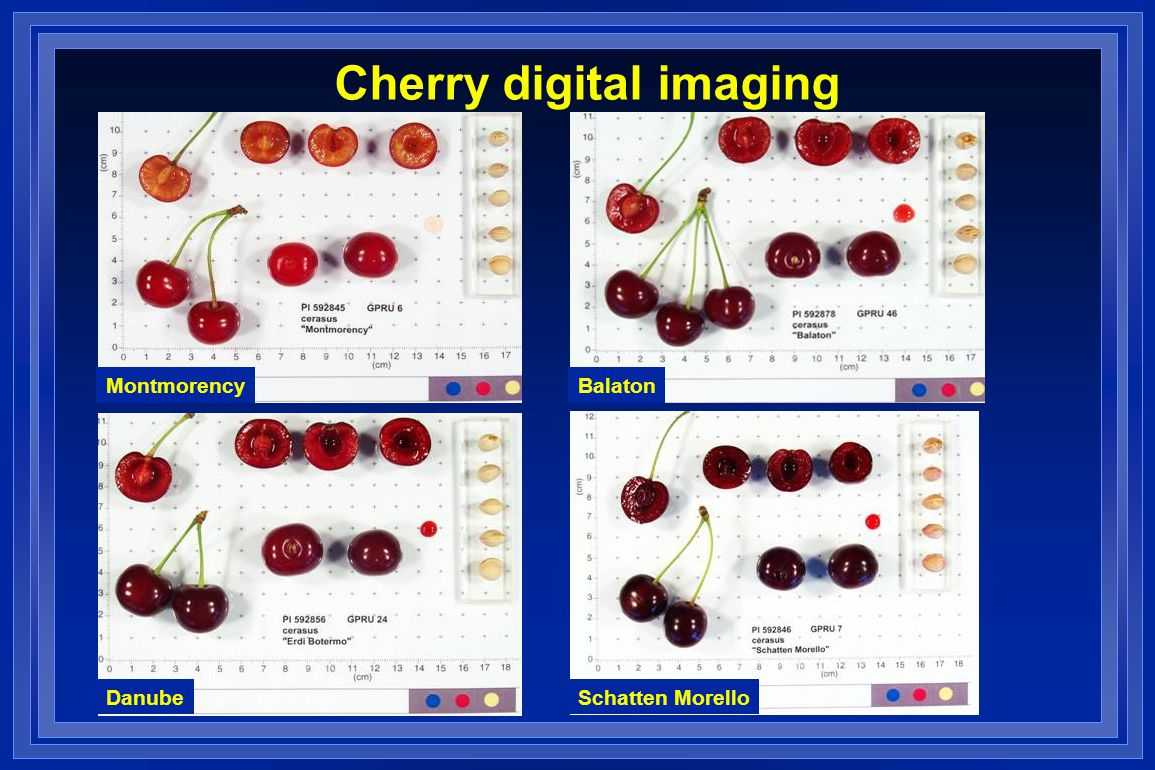 Cherry digital imaging MontmorencyBalaton DanubeSchatten Morello