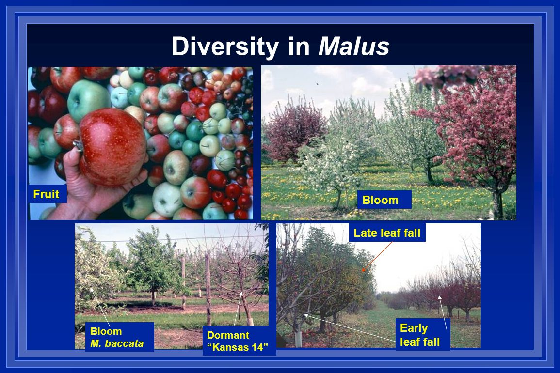 Diversity in Malus Bloom M. baccata Dormant Kansas 14 Early leaf fall Late leaf fall Fruit