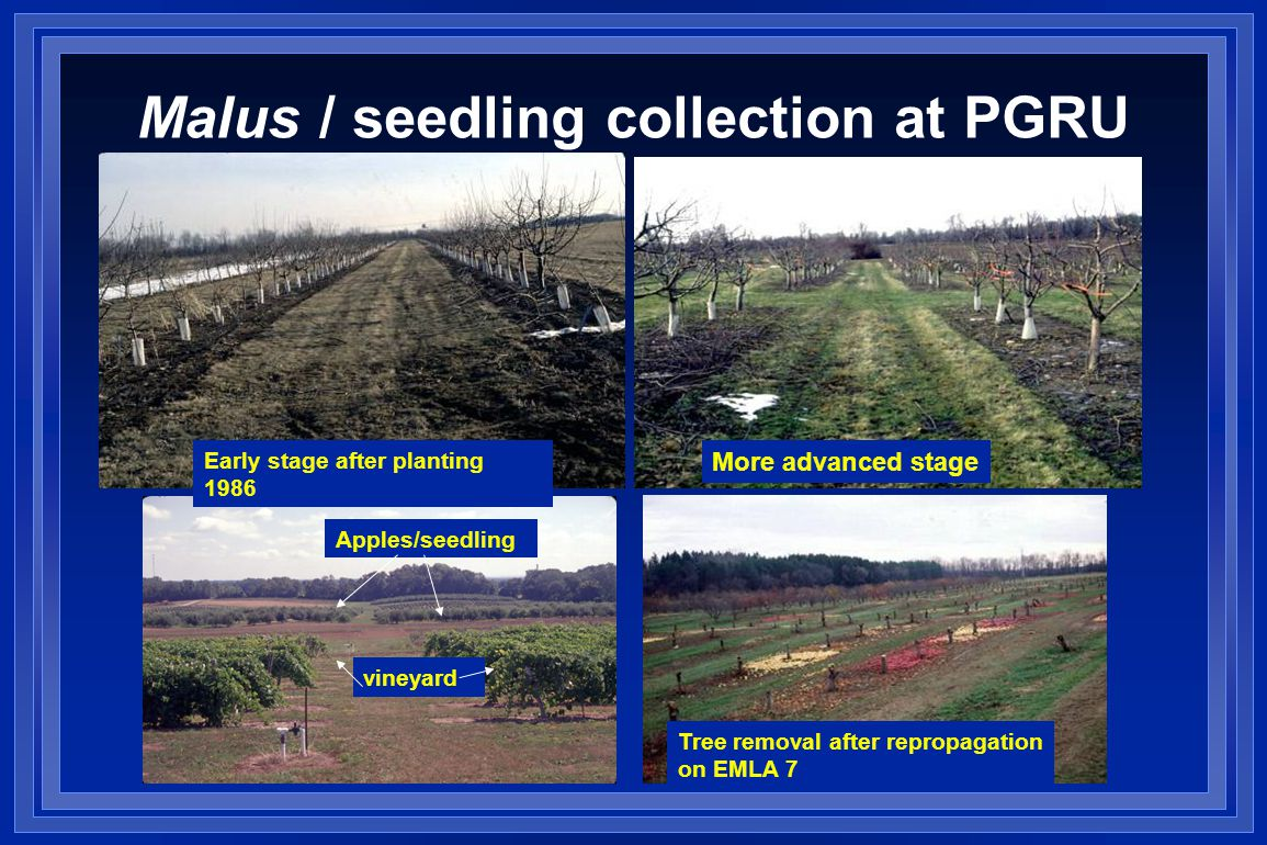Malus / seedling collection at PGRU Early stage after planting 1986 More advanced stage Apples/seedling vineyard Tree removal after repropagation on EMLA 7