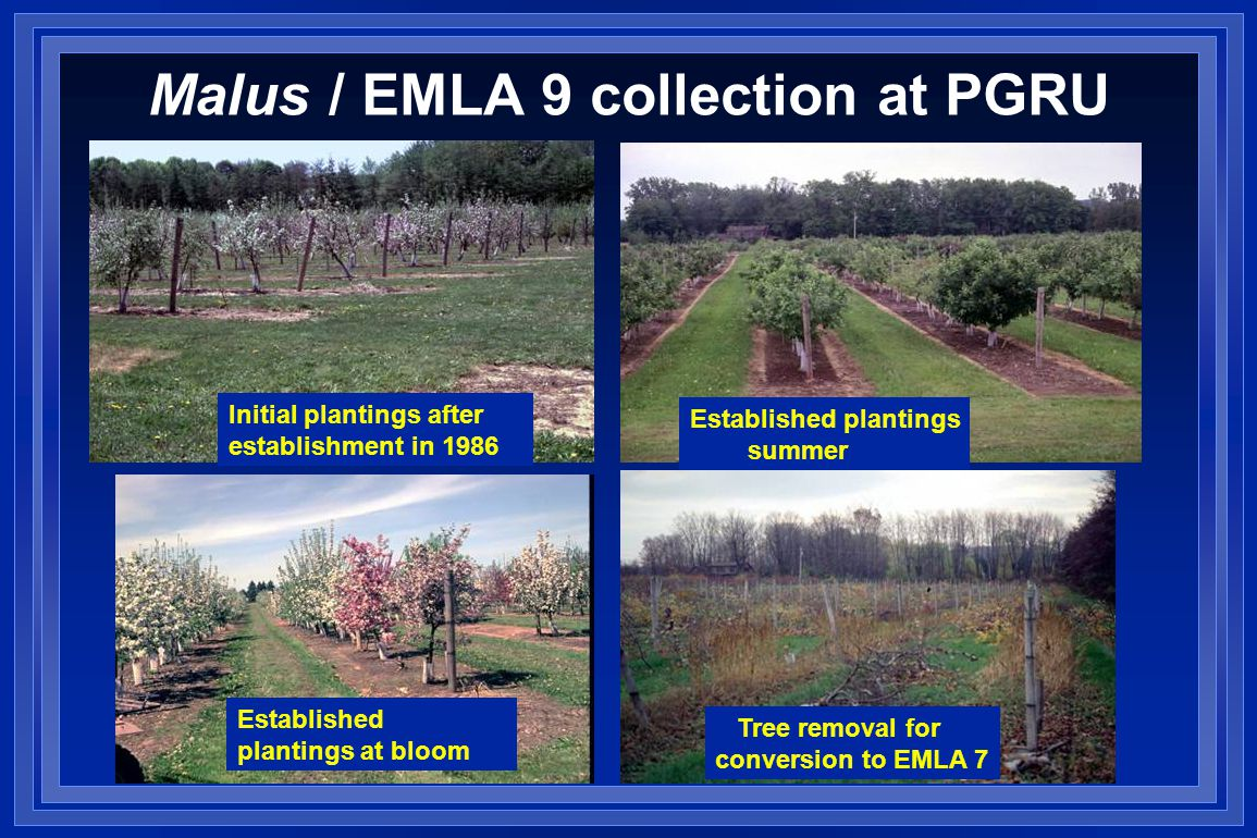 Malus / EMLA 9 collection at PGRU Initial plantings after establishment in 1986 Established plantings summer Established plantings at bloom Tree removal for conversion to EMLA 7