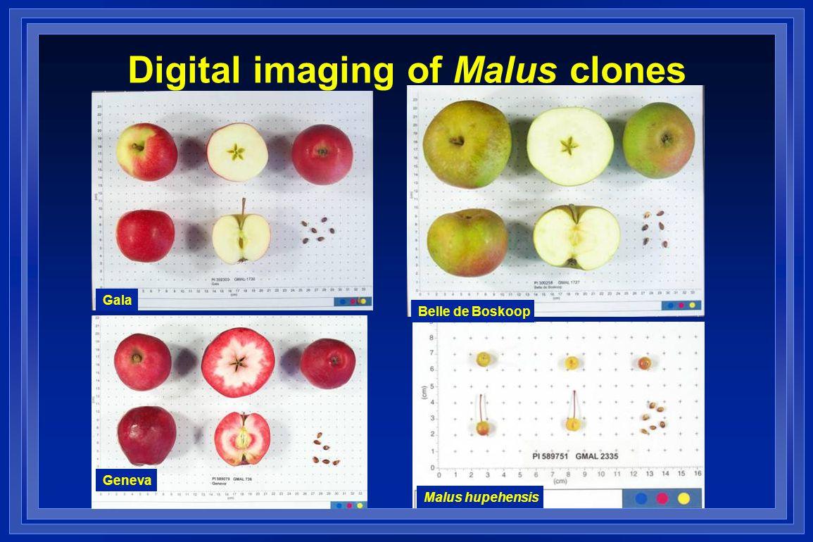 Digital imaging of Malus clones Gala Belle de Boskoop Geneva Malus hupehensis