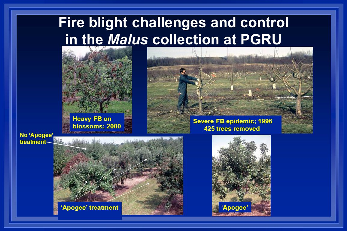 Fire blight challenges and control in the Malus collection at PGRU Heavy FB on blossoms; 2000 Severe FB epidemic; 1996 425 trees removed 'Apogee' treatment'Apogee' No 'Apogee' treatment