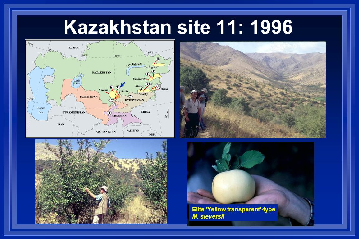 Kazakhstan site 11: 1996 Elite 'Yellow transparent'-type M. sieversii